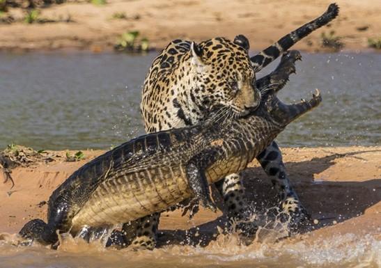 此前,摄影师拍到过很多鳄鱼潜伏在水里攻击陆地动物的场面,但极少见到图片