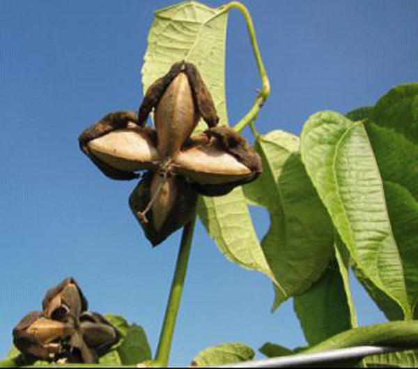 印奇公司美藤果种植基地 组图