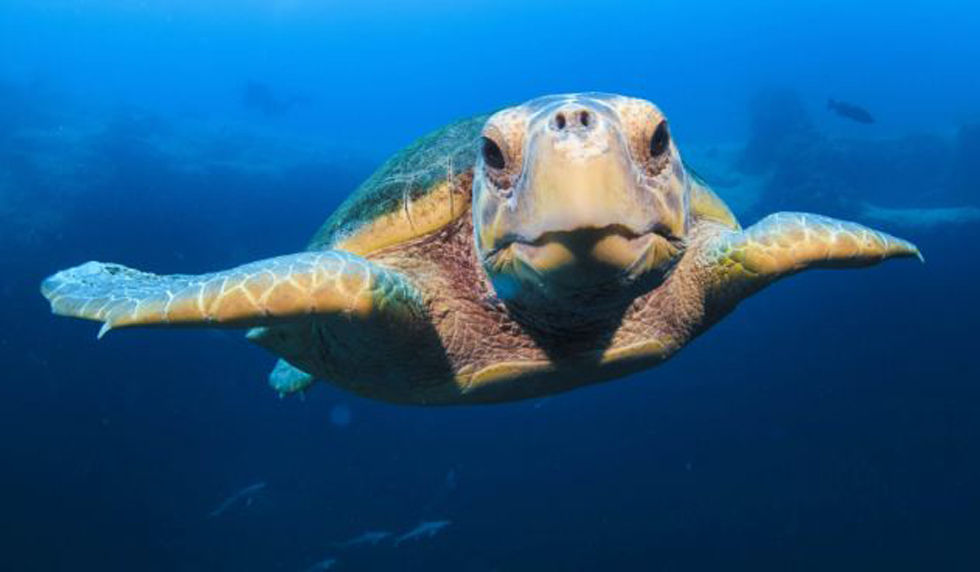 摄影师巴哈马潜水偶遇珍稀海龟,人龟亲密自拍。