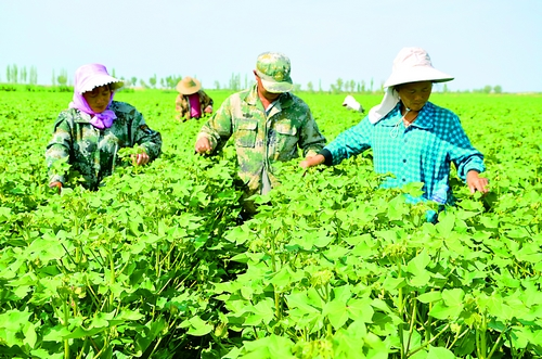 新疆生产建设兵团/7月6日,新疆生产建设兵团第一师二团职工在摘棉花顶心。