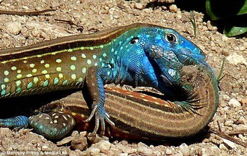 """起初,拉莫斯把这两只""""接吻""""的蜥蜴当成了一颗美丽的蓝色绿松石"""