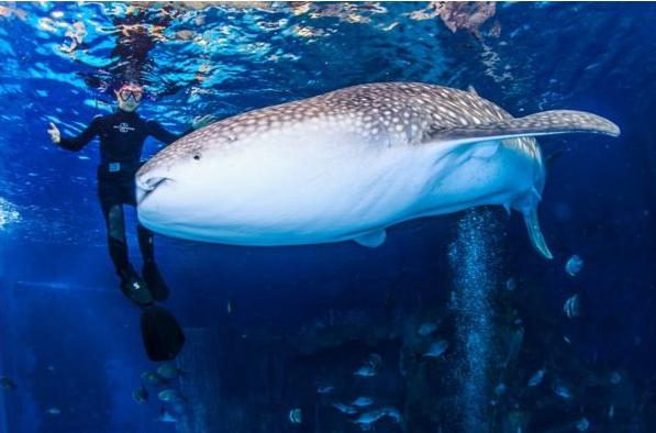 资料链接:长隆海洋王国鲸鲨馆独揽五项吉尼斯世界纪录图片