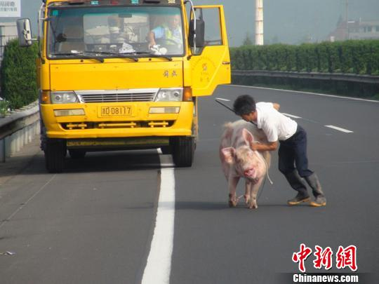 在高速公路上流窜的猪。
