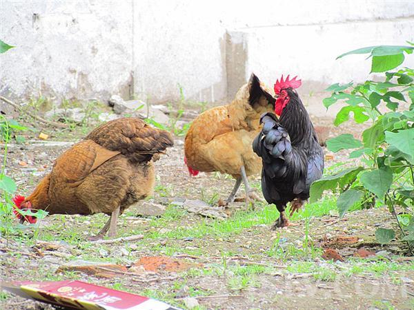 防控禽流感 南京市区唐山路有鸡散养(组图)