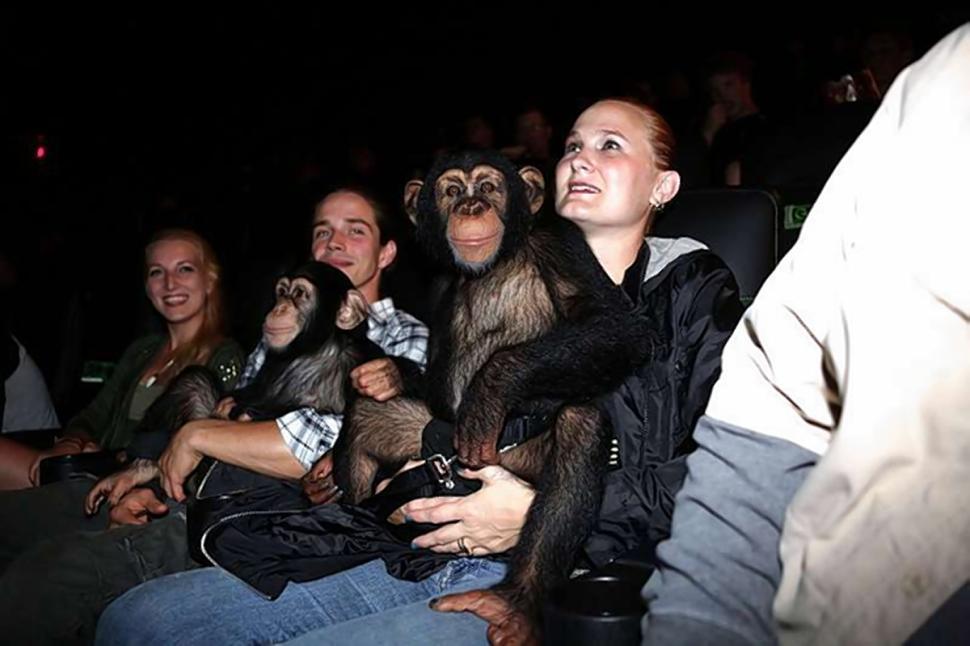黑猩猩影院观看《猩球崛起》竟竖起大拇指称赞