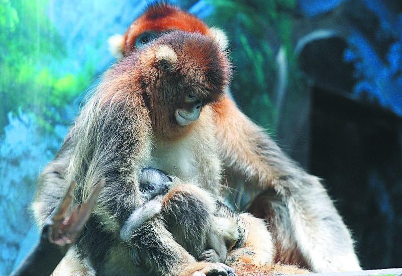动物园金丝猴家喜添丁(图)
