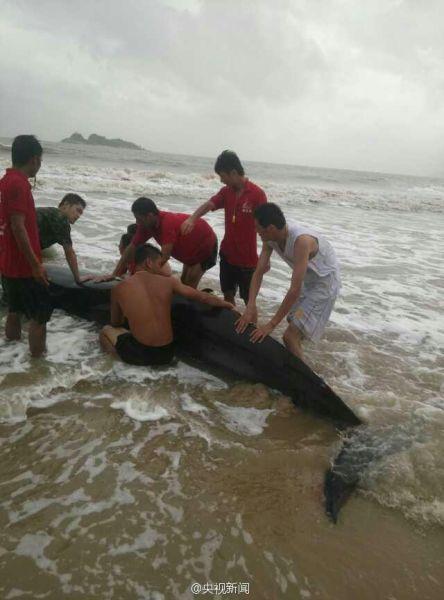 搁浅的虎头鲸