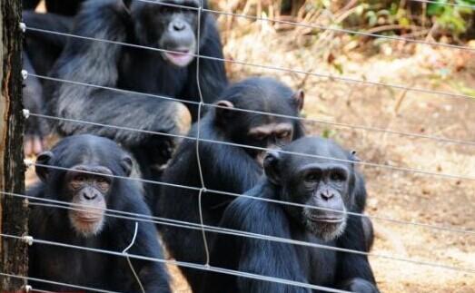 图为在泰古加马黑猩猩保护区拍摄的黑猩猩。