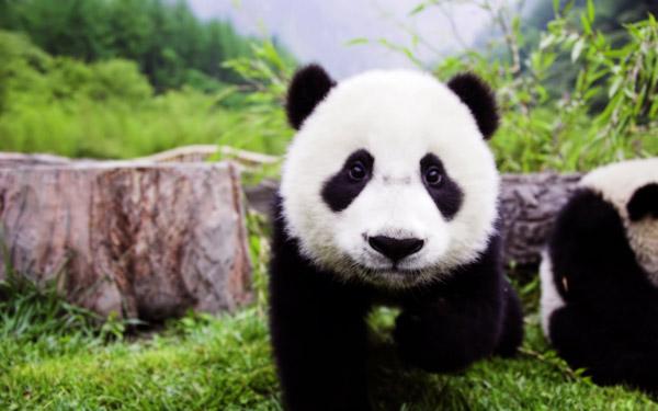熊猫和公益元素将贯穿整个2014驾年华活动及传播过程