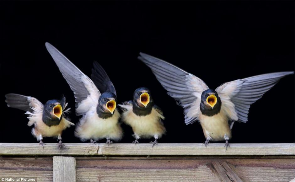 摄影师拍可爱小燕子抢食 争先恐后像合唱(组图)图片