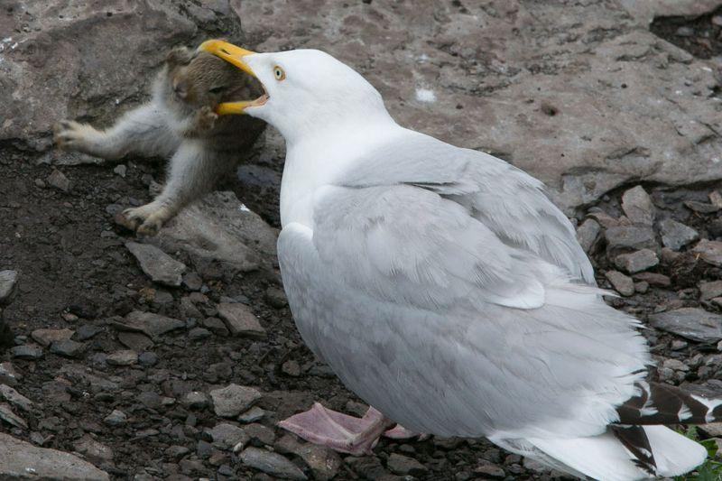 爱尔兰海鸥厌倦吃鱼生吞整只兔子(高清组图)