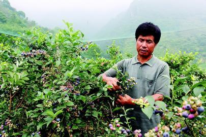 潘炳明:52岁开始种蓝莓(图)