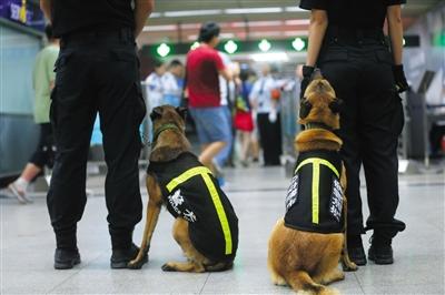 昨日,地铁国贸站,搜油犬上岗查危险品。进入暑期,北京地铁安检进入最高级别。新京报记者 王贵彬 摄