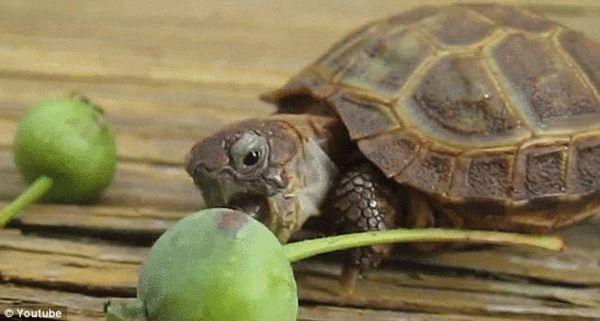 必兆娱乐-超萌小乌龟艰难啃苹果 逗乐网友