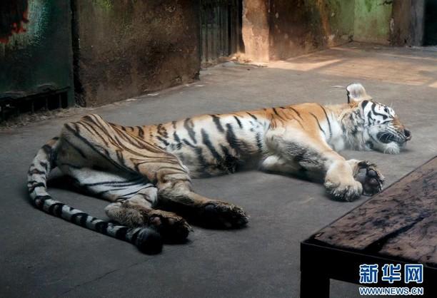 天津动物园一老虎骨瘦如柴 老虎身形消瘦系因