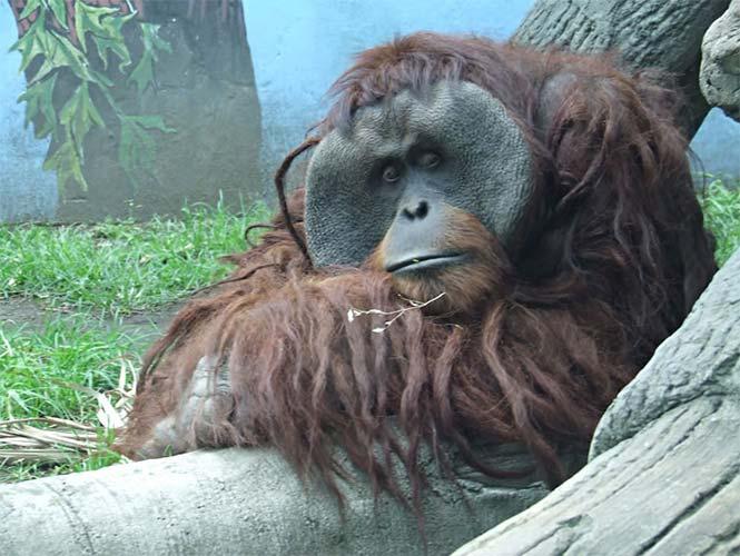 查普尔特佩克动物园内的大猩猩网页截图