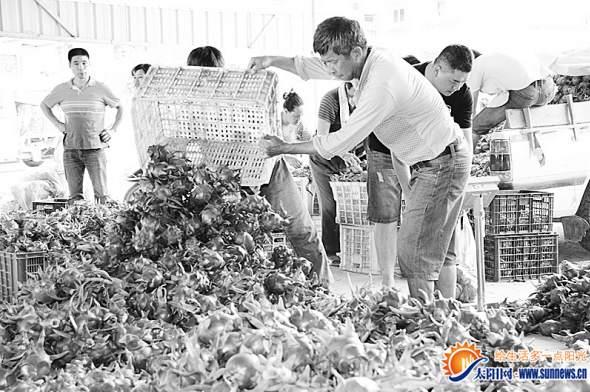 火龙果减产果农不悲观 今年收购价高结果期延