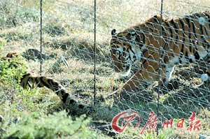 南非老虎谷中的中国华南虎。