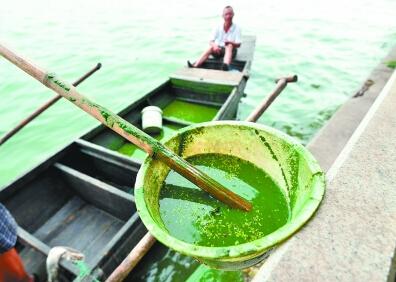 工作人员打捞起来的蓝藻颜色如绿油漆一样。记者喻志勇 摄