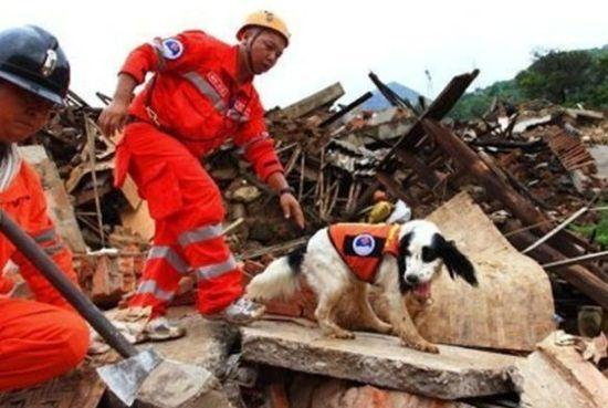 """""""猪猪""""和肖兵4日上午在龙头山镇的废墟现场搜救。"""