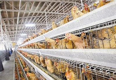 业界表示,新城病毒已有疫苗防控,不担心事件会波及其他鸡场。图为新界一鸡场。香港《文汇报》数据图片