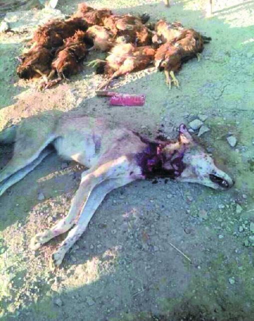 被村民打死的狼。