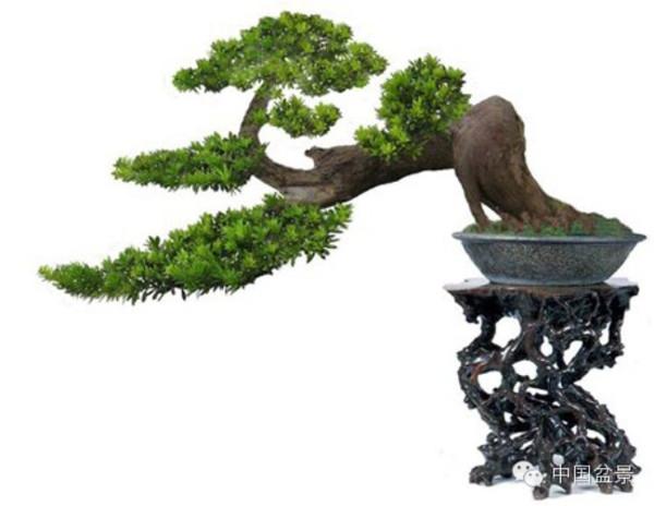 窃六件榆树盆景