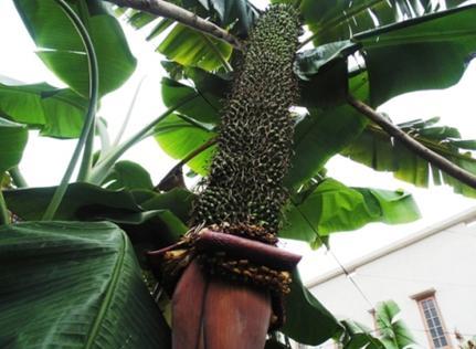 这穗香蕉结出202扇香蕉,而且预计还能再长出100扇香蕉。(图片来源:越南媒体)