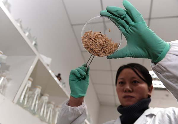 华中农业大学作物遗传改良国家重点实验室,实验室工作人员在选种。 IC 资料