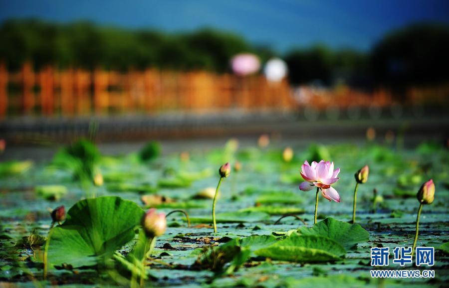 两只白鹭在黑瞎子岛湿地里准备起飞8月17日摄。新华社记者