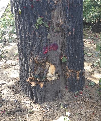 昨日,一出租车冲上绿化带后撞到树上,车内三人死亡,被撞大树树皮脱落。