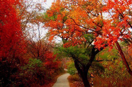 香山公园   香山的红叶包括黄栌,元宝枫,三角枫,五角枫,鸡爪槭,火