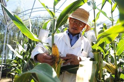 昨日,中国农业科学院转基因试验田,工作人员在检查转基因抗虫玉米的抗虫害情况。新京报记者 侯少卿 摄