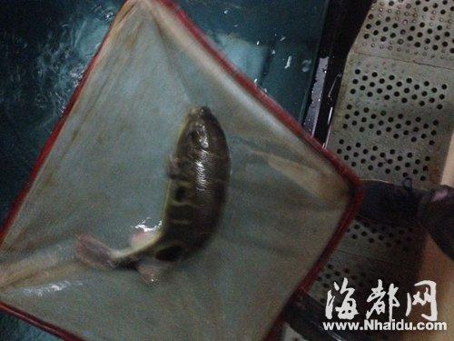 福州屏山鲜中鲜餐厅内养着多条河豚,公开出售