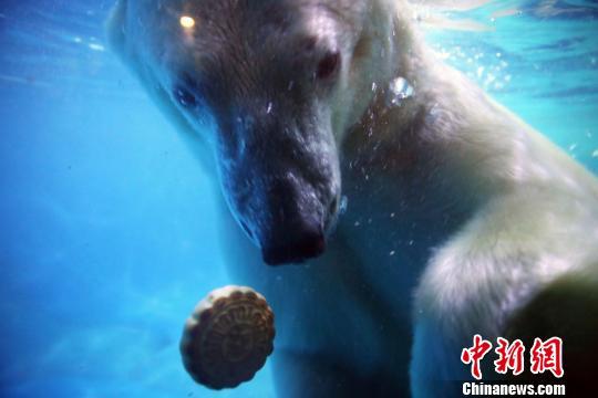 """7日,山东蓬莱海洋极地世界的工作人员为北极熊莱斯和它的""""妻子""""蓬蓬准备了特制月饼和蔬菜水果沙拉,让北极熊""""夫妻""""也过上一回""""中秋节""""。姜山 摄"""
