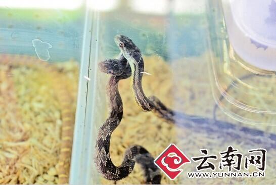 花鸟市场卖的蛇 记者 翟剑