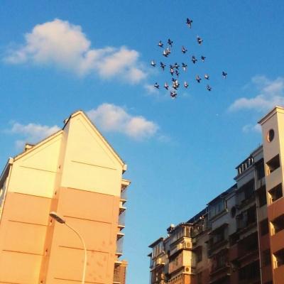 17日下午,福州西二环边一小区的一群鸽子在绕着屋顶盘旋 许艺民/摄