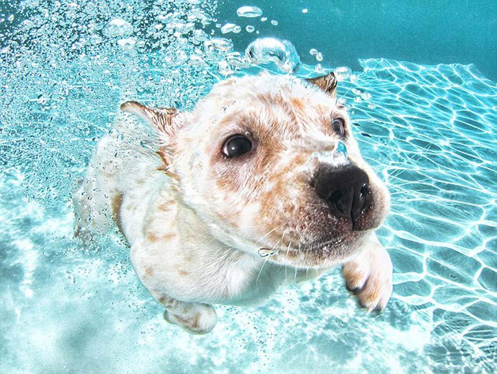 国际在线专稿:据英国《每日邮报》9月17日报道,美国摄影师塞斯卡斯蒂尔(Seth Casteel)于17日正式发布其摄影集《水下萌犬》(Underwater Puppies)。摄影集收录了卡斯蒂尔曾拍到的80余张狗狗戏水照片,包括狗狗首次潜水及浮出水面的经典场景。这些照片中,狗狗们睁大兴奋的眼睛、通过小鼻子吹泡泡的萌态,让人忍俊不禁。(沈姝华)