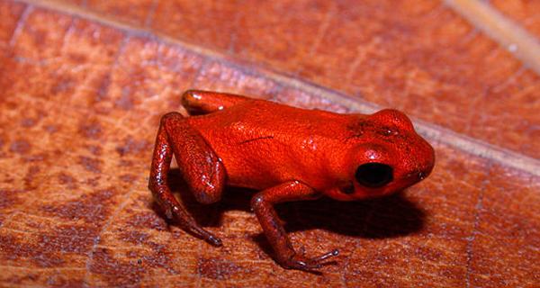 巴拿马发现箭毒蛙近亲,全身橘红色如小恶魔网页截图