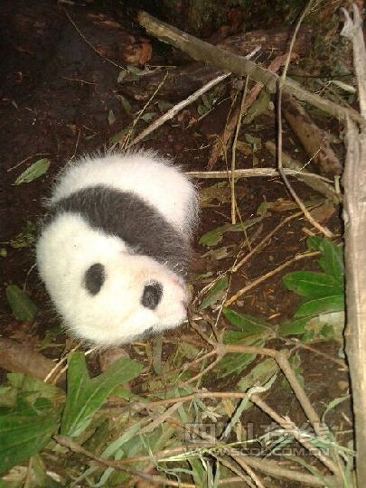四川黑水河保护区首次发现野生大熊猫幼崽(组图)