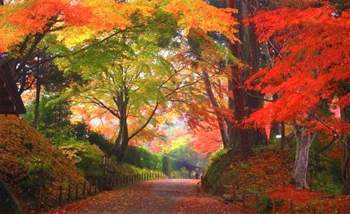 壁纸 枫叶 红枫 树 500_306图片