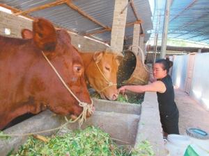 高脚村村民王禄彩在给肉牛喂料