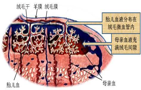 胎盘干细胞:科幻虚构or动听故事