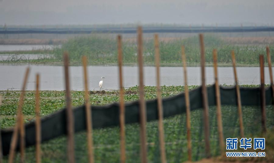 洞庭湿地生态困局呼吁湿地保护立法一只鹭鸟停留在被围网隔开成养蟹区域的采桑湖里(9月25日摄)。
