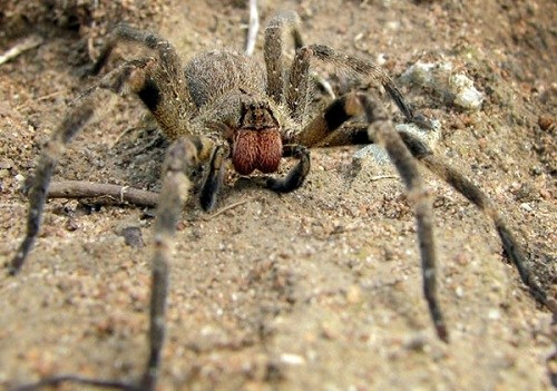 巴西漫游蜘蛛资料图