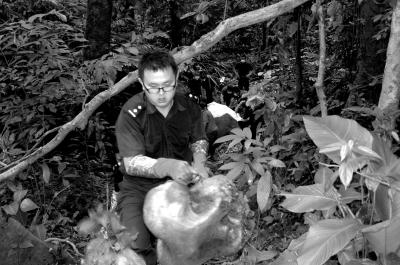 被猎杀的大象头部腐烂,露出头颅。西双版纳州森林公安局供图