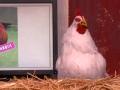 《柯南秀片花》神奇公鸡预测职棒赛果 下蛋猜比分刷新三观