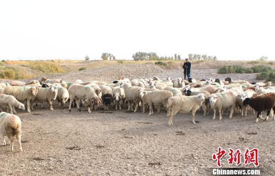 博湖县/刚从药浴池中爬上来的小羊。东华摄...