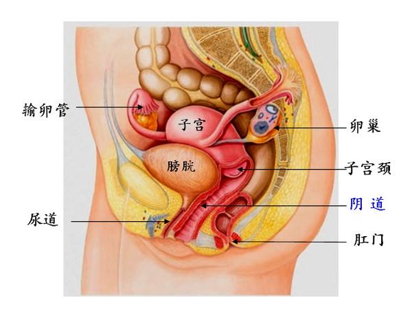 妈和儿子性交的故事_《妇产科学》教材定义说:阴道是性交器官,也是月经血排出和胎儿娩出