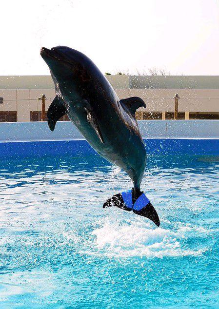 """装有橡胶尾鳍的海豚""""富士""""(网页截图)"""